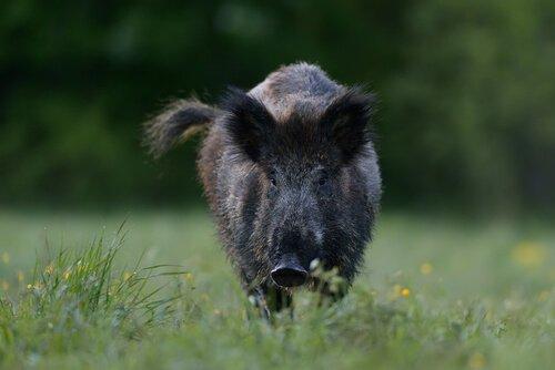 Javali, ou porco selvagem