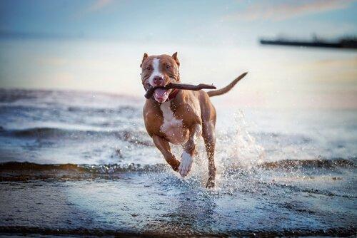 Cachorro correndo na praia com galho na boca