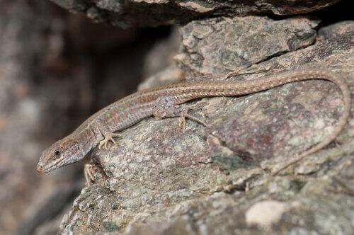 lagartos nas ilhas canárias