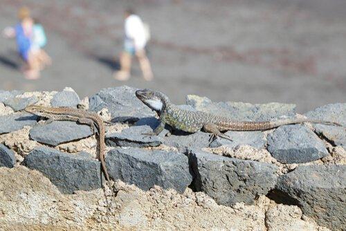 lagartos das ilhas canárias