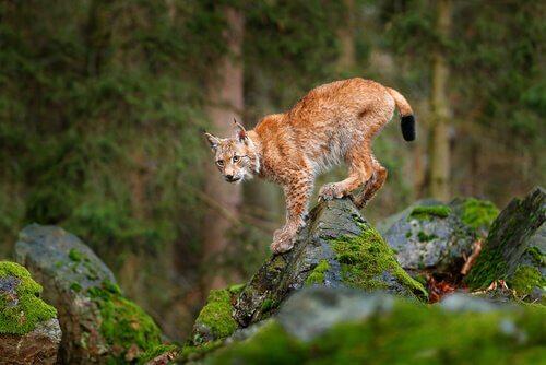 O lince europeu, ameaçado pela caça