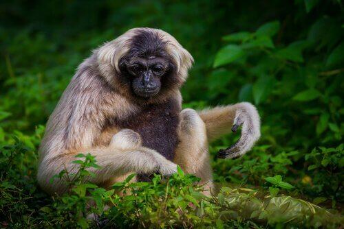 animais da indochina: o gibão crestado