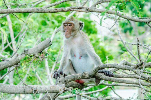 animais dos manguezais: macaco rhesus