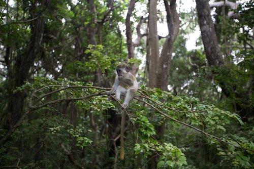 macaco verde: características