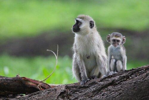 macaco verde com filhote