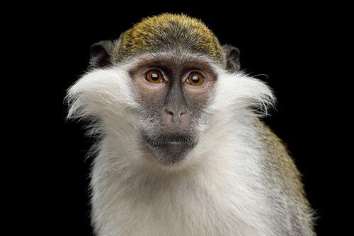 O macaco verde, do Egito aos laboratórios