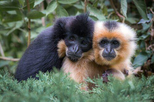 Macacos gibões