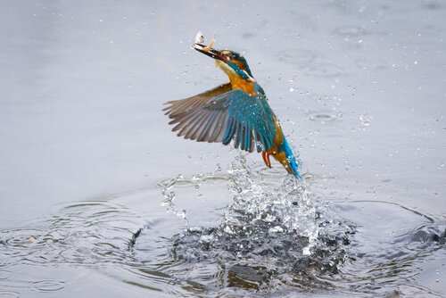 martim-pescador ave