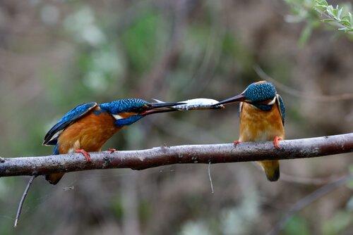 martim-pescador pássaro