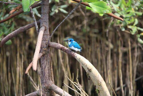 Martim-pescador azulado