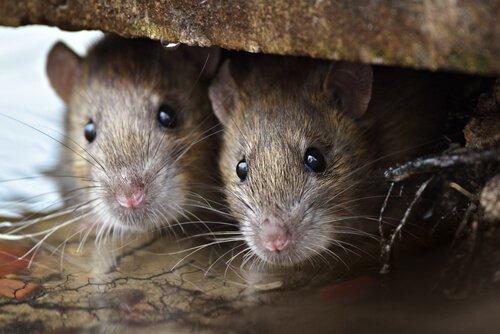 animais com melhor olfato: ratos