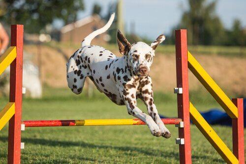 Melhore a agilidade do seu cão com estes exercícios