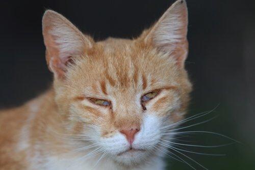 membrana nictitante em gatinho com olho infeccionado