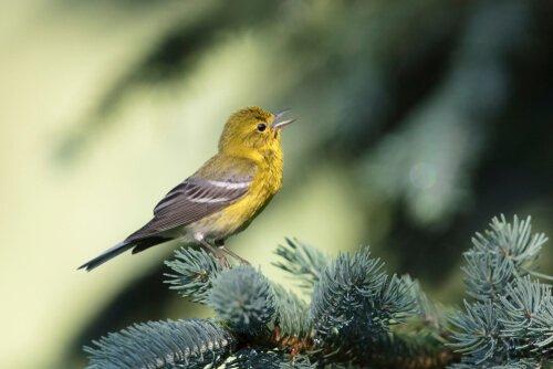 Pássaro mosquiteiro