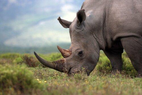 Oito rinocerontes morrem em transferência para reserva