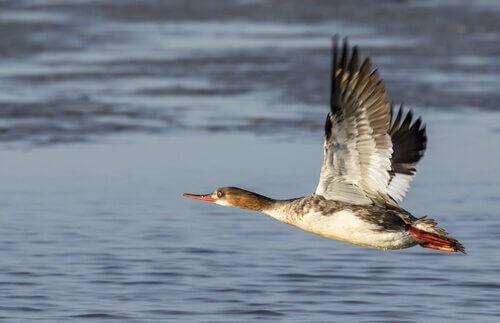 A orientação no voo das aves
