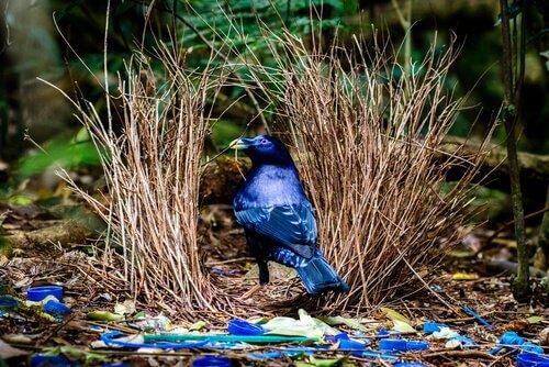 Ptilonorhynchidae: o pássaro-jardineiro
