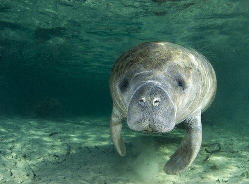 5 animais que vivem nos manguezais: peixe-boi caribenho