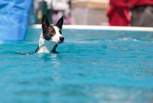 natação para cães