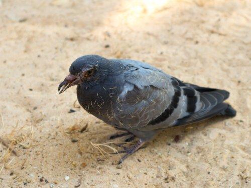 as doenças transmitidas por pombos