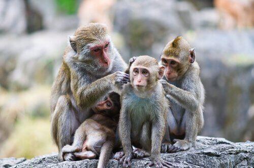 Por que os macacos limpam uns aos outros?