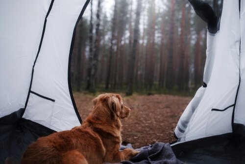 Posso acampar com meu cão?