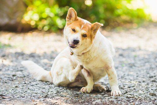 Problemas de pele em cães e seu tratamento