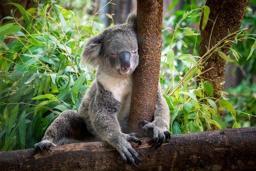 coala dormindo