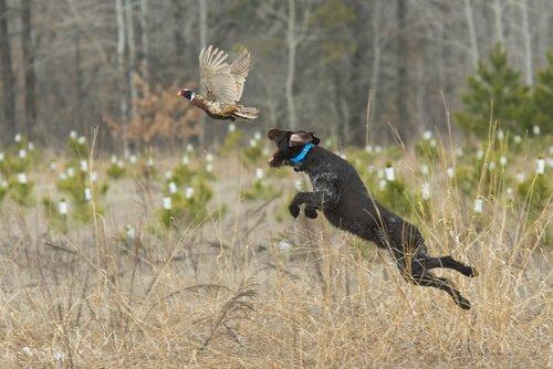 cão caçando ave