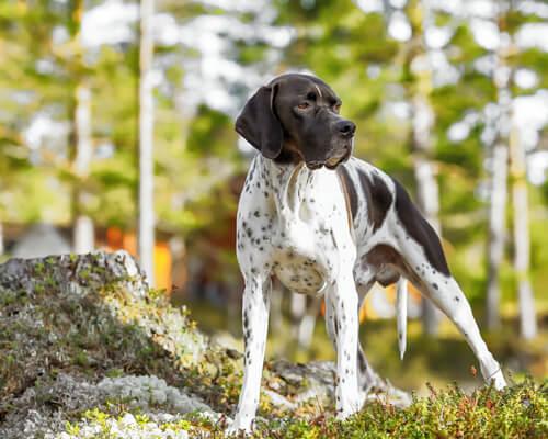 Raças de cães apontadores