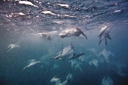 vida marinha em Chagos