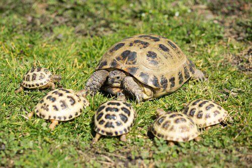 tartaruga-russa com filhotes