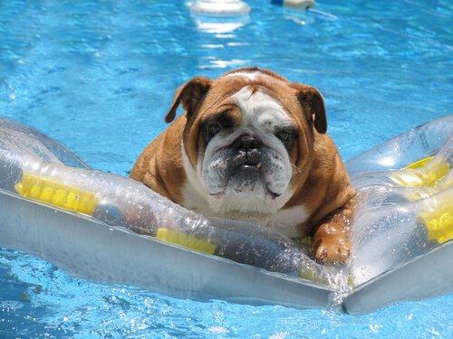 Cachorro em boia tomando banho de piscina