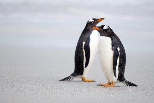 Casal de pinguim-gentoo