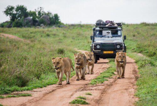 Leões e carro de safári na África