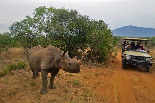 Rinoceronte durante um safári