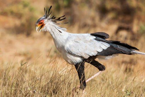 conheça a ave de rapina: secretário