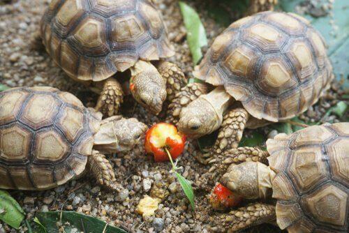Tartarugas comendo maçã