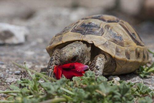 Tartaruga comendo flor