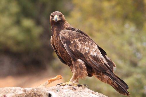 Tipos de águias: comportamento e habitat