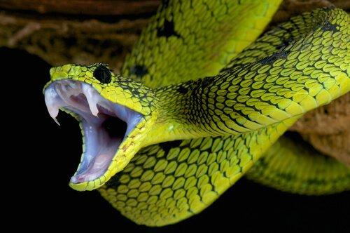 estomatite em cobras