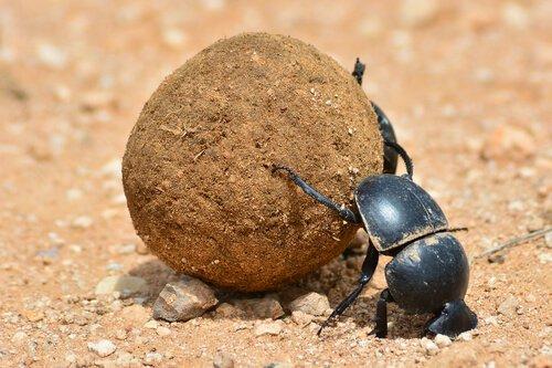 5 espécies de besouros: o besouro boleiro
