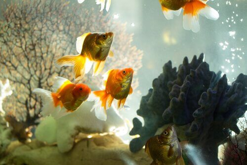 Peixinhos dourados