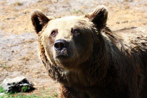 Urso de Gobi