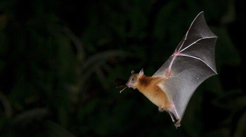 o voo do morcego: quase na vertical