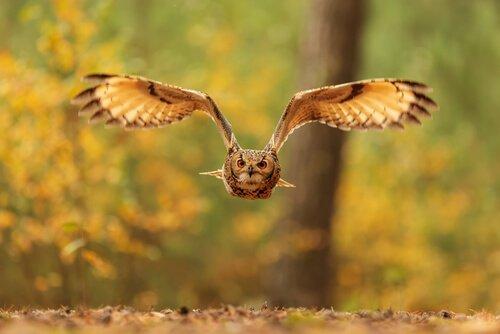 o incrível voo silencioso das corujas
