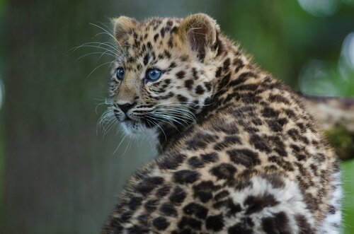 Zoológico planeja reintroduzir felinos ameaçados