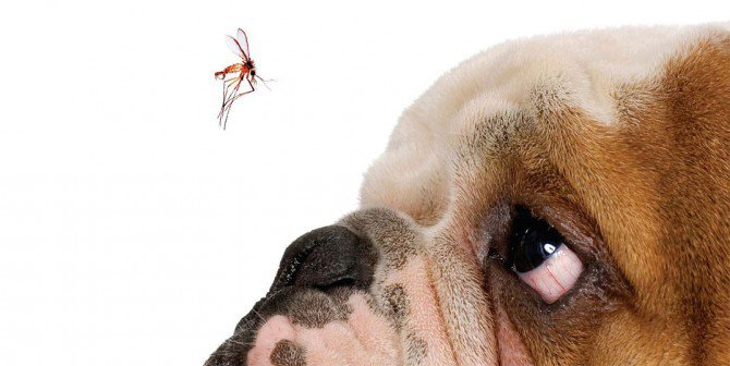 Aedes aegypti e Culex transmitem doença letal em cães e gatos