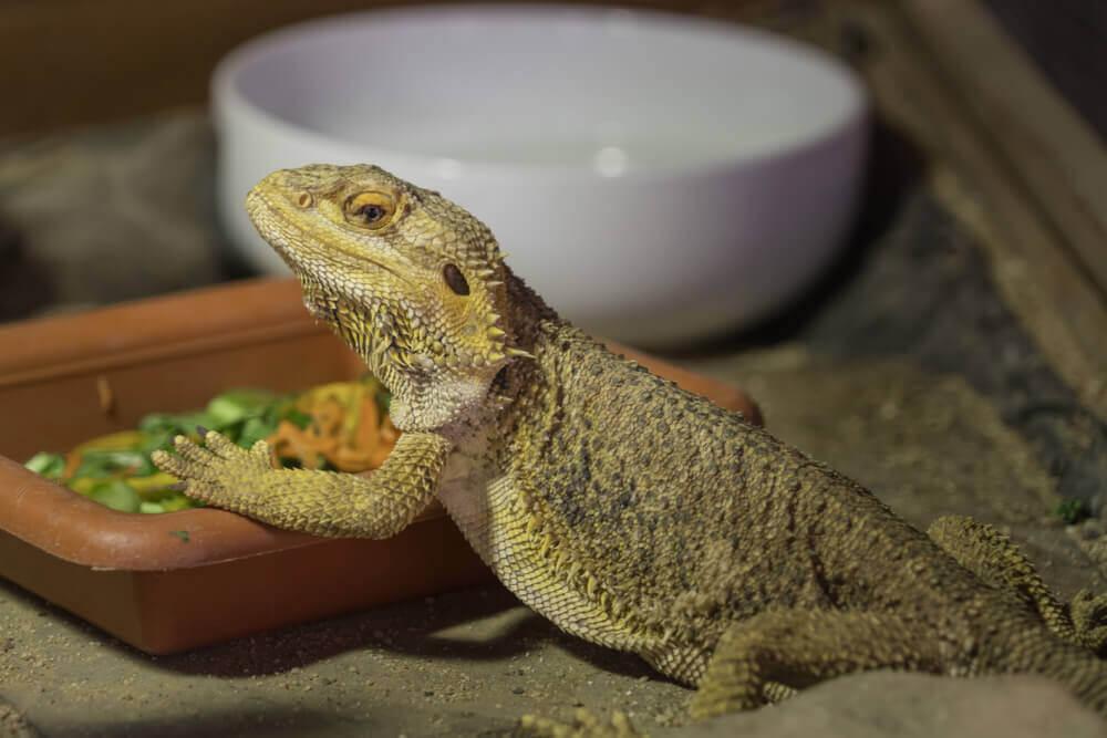 alimentação do dragão barbudo