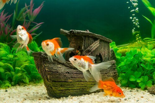 Peixinhos dourados em aquário